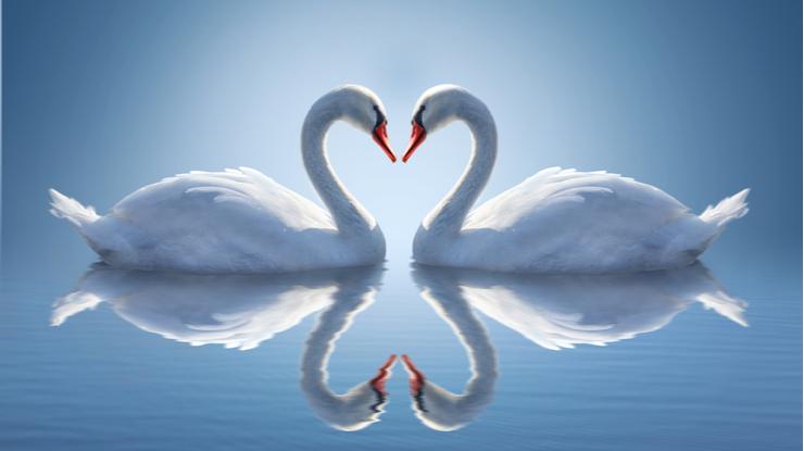 向き合う美しい白鳥